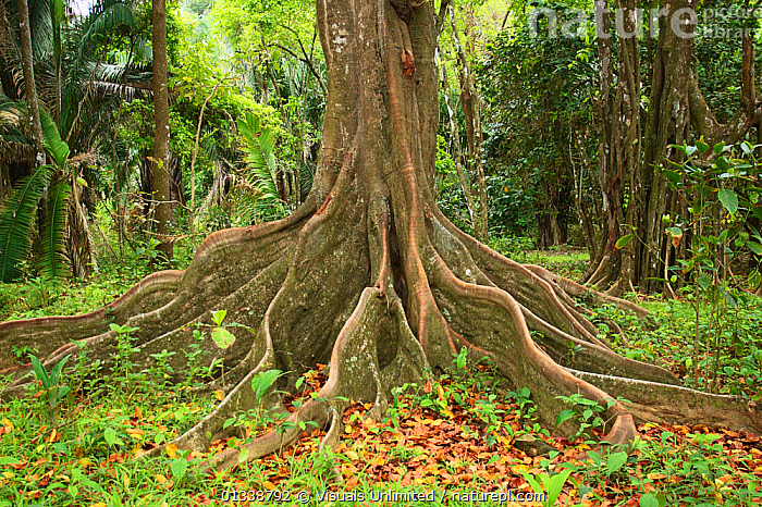 Buttress roots of the Silk Cotton Tree (Ceiba pentandra) which can grow to over 60 meters high.  ,  BOTANY,BUTTRESS,CEIBA,COLOR,COTTON,DICOTYLEDONS,DON,GRALL,MALVACEAE,NATURAL,OUTDOORS,PENTANDRA,PLANTS,RAINFOREST,RAINFORESTS,ROOT,ROOTS,SILK,TREE,TRUNKS  ,  Visuals Unlimited