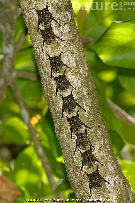 Proboscis / Long-nosed Bats (Rhynchonycteris naso) resting on a tree trunk.  ,  BAT,BATS,BRANCHES,CHIROPTERA,COLOR,DON,GRALL,GROUPS,LONG NOSED,MAMMAL,MAMMALS,MEDIUM,NASO,NATURAL,NINE,OUTDOORS,PROBOSCIS,RESTING,RHYNCHONYCTERIS,ROW,VERTEBRATES,VERTICAL,WILDLIFE  ,  Visuals Unlimited