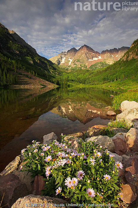 Aspen Daisies in flower on the Maroon Lake shoreline with Maroon Bells reflected in the lake. Rocky Mountains, Colorado, USA. Spring.  ,  ,ALPINE, Aspen, awe, , bells, botany, colorado, Daisy, Don, flower, FLOWERS, FRESHNESS, Grall, idyllic, Lake, LAKES, landscape, LANDSCAPES, majestic, MAROON, Mountain, MOUNTAINS, nature, outdoors, PEACEFUL, reflection, REFLECTIONS, Rocky, Scenic, SKY, SUMMER, tranquil, USA, VERTICAL, Wildflower, wildflowers  ,  Visuals Unlimited
