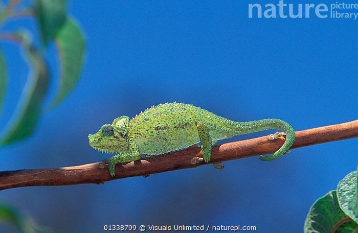 Jackson's Chameleon (Chamaeleo jacksonii) walking along a branch near Mt. Kenya NP, Kenya, Africa.  ,  AFRICA, animal, animals, Balance, BLUE, branch, Chamaeleo, Chameleon, CHAMELEONS, close-up, Color, Don, EAST-AFRICA, Focus, Grall, GREEN, jacksonii, jacksons, Jackson's, Kenya, LIZARDS, mount, MOVEMENT, National, nature, one, outdoors, Park, Reptile, REPTILES, selective, themes, tip, VERTEBRATES, WALKING, Wild, WILDLIFE,,Lizard,  ,  Visuals Unlimited