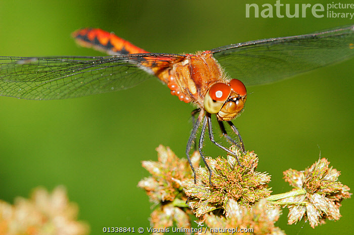 Ruby Meadowhawk Dragonfly (Sympetrum rubidunculum) infested by mites.  ,  animal, ARACHNIDS, ARTHROPODS, compound, DRAGONFLIES, dragonfly, eye, GREEN, HORIZONTAL, host, insect, INSECTS, INVERTEBRATES, meadowhawk, mite, one, outdoors, parasite, RED, rubidunculum, Ruby, sympetrum, TICKS + MITES, WILDLIFE  ,  Visuals Unlimited