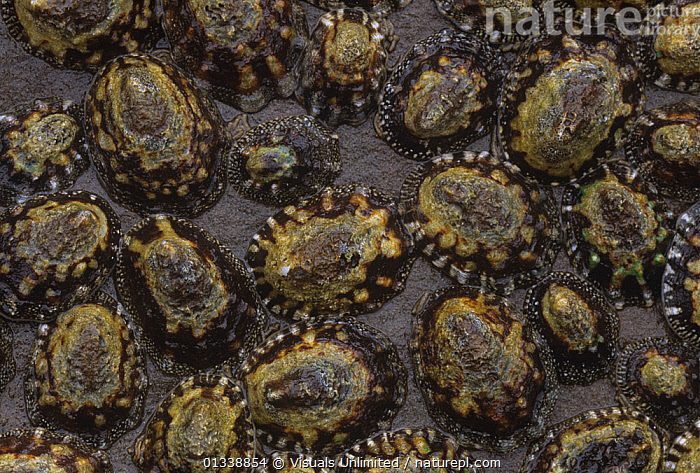 Ribbed / Finger Limpets (Lottia digitalis) Pacific Coast, USA  ,  80669665,ANIMAL,ANIMALS,BACKGROUNDS,CLOSE UP,DIGITALIS,DOUG,FINGER,GASTROPOD,GASTROPODS,HORIZONTAL,INVERTEBRATES,LARGE,LIFE,LIMPET,LIMPETS,LITTORAL,LOTTIA,MARINE,MOLLUSCA,MOLLUSCS,MOLLUSK,MOLLUSKS,OCEAN,OUTDOORS,PACIFIC,PATTERNS,POPULATION,POPULATIONS,RIBBED,SEA,SEASHELL,SEASHELLS,SOKELL,UNDERWATER,UNIVALVE,USA,SIZE ,Intertidal,North America  ,  Visuals Unlimited