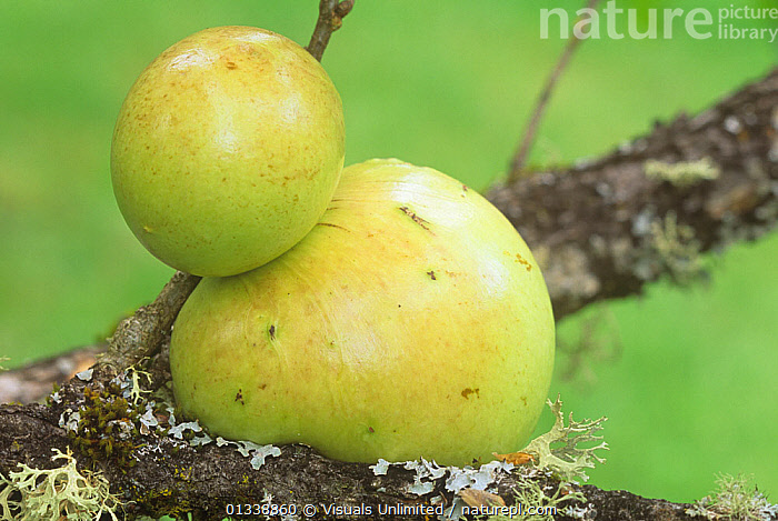Oak Apple Gall caused by a Gall Wasp.  ,  APPLE,BOTANY,CLOSE UP,DICOTYLEDONS,DOUG,ENTOMOLOGY,FAGACEAE,FRAME,GALL,GALLS,HORIZONTAL,INSECT,INSECTS,NATURAL,OAK,ONE,OUTDOORS,PLANT,PLANTS,SOKELL,WASP,WASPS,Invertebrates  ,  Visuals Unlimited