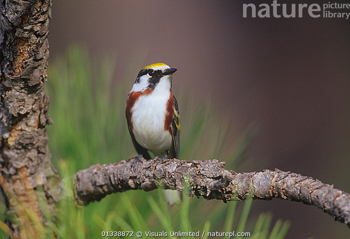 Male Chestnut-sided Warbler (Dendroica pennsylvanica) USA.  ,  animal, bird, BIRDS, chestnut, Chestnut-sided, close-up, Dendroica, HORIZONTAL, male, Maslowski, one, outdoors, pennsylvanica, sided, Steve, USA, VERTEBRATES, warbler, WARBLERS,North America  ,  Visuals Unlimited