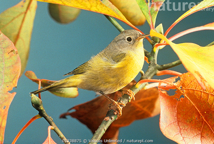 Nashville Warbler (Vermivora ruficapilla) Eastern USA.  ,  ANIMAL,BIRD,BIRDS,CLOSE UP,HORIZONTAL,MASLOWSKI,NASHVILLE,ONE,ORNITHOLOGY,OUTDOORS,RUFICAPILLA,STEVE,USA,VERMIVORA,VERTEBRATES,WARBLER,WARBLERS,North America  ,  Visuals Unlimited