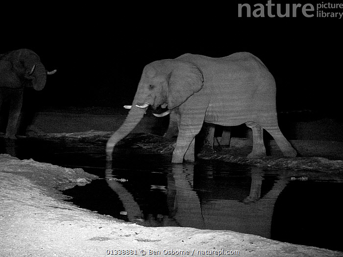 Infra red image of African elephant (Loxodonta africana) drinking at a waterhole at night.  Infra red light has reflected off the ripples in the water to create a stripey pattern on the elephant.  Savuti, Northern Botswana.  Taken on location for BBC Planet Earth series, 2003  ,  BBC,BOTSWANA,DARK,DRINKING,ELEPHANTS,ENDANGERED,GROUPS,INFRARED,INFRA RED,MAMMALS,NIGHT,PROBOSCIDS,SAVUTI,SOUTHERN AFRICA,VERTEBRATES,WATER,WATERHOLE  ,  Ben Osborne