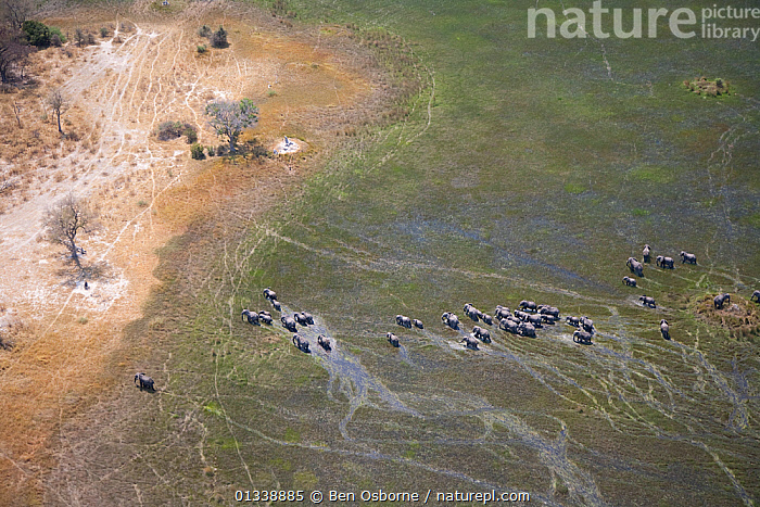 Aerial view of African elephants (Loxodonta africana)moving through wetland in the Okavango delta, Northern Botswana, taken on location for BBC Planet Earth series, October 2005  ,  AERIAL VIEWS,AERIALS,BBC,BOTSWANA,ELEPHANTS,ENDANGERED,FAMILIES,GROUPS,HERDS,LANDSCAPES,MAMMALS,MIGRATING,MIGRATION,PROBOSCIDS,SOUTHERN AFRICA,SWAMPS,VERTEBRATES,WATER,WET SEASON,WETLANDS  ,  Ben Osborne