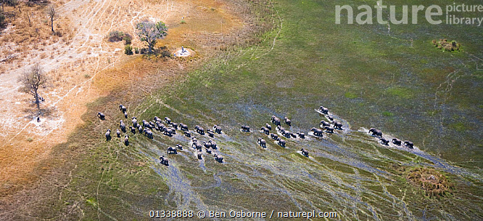Aerial view of African elephants (Loxodonta africana)moving through wetland in the Okavango delta, Northern Botswana, taken on location for BBC Planet Earth series, October 2005  ,  aerial views,AERIALS,BBC,catalogue4,ELEPHANTS,elevated view,FAMILIES,Following,GROUPS,Herds,MAMMALS,migrating,MIGRATION,Okavango delta,PANORAMIC,southern africa,SWAMPS,view from above,WATER,wet season,wetland,WETLANDS,WILDLIFE,Botswana,ENDANGERED,herd,LANDSCAPES,large group of animals,Nobody,on the move,PROBOSCIDS,VERTEBRATES  ,  Ben Osborne