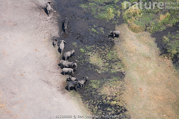 Aerial view of African elephants (Loxodonta african) bathing in mud on the banks of the Linyanti River, Botswana.  Taken on location for BBC Planet Earth series, 2005  ,  AERIAL VIEWS,AERIALS,BBC,BOTSWANA,DRY SEASON,ELEPHANTS,ENDANGERED,FAMILIES,GROUPS,HERDS,LANDSCAPES,LINYANTI,MAMMALS,MIGRATING,MIGRATION,PROBOSCIDS,RIVERS,SOUTHERN AFRICA,VERTEBRATES  ,  Ben Osborne