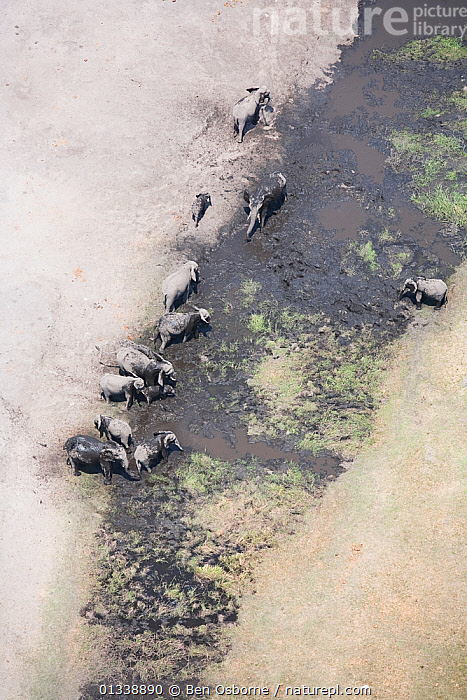 Aerial view of African elephants (Loxodonta african) bathing in mud on the banks of the Linyanti River, Botswana.  Taken on location for BBC Planet Earth series, 2005  ,  AERIAL VIEWS,AERIALS,BBC,BOTSWANA,DRY SEASON,ELEPHANTS,ENDANGERED,FAMILIES,GROUPS,HERDS,LANDSCAPES,LINYANTI,MAMMALS,MIGRATING,MIGRATION,PROBOSCIDS,RIVERS,SOUTHERN AFRICA,VERTEBRATES,VERTICAL  ,  Ben Osborne