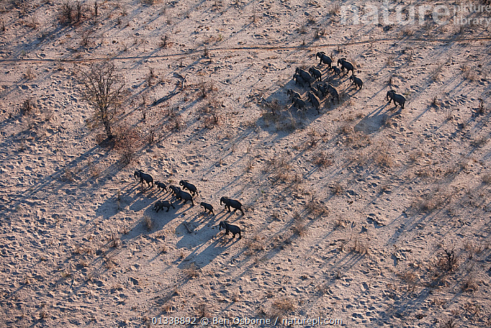 Aerial view of African elephant herd (Loxodonta africana) traveling through parched landscape during drought conditions, Northern Botswana.  Taken on location for BBC Planet Earth series, October 2005  ,  AERIAL VIEWS,AERIALS,BBC,BOTSWANA,DROUGHT,DRY SEASON,ELEPHANTS,ENDANGERED,FAMILIES,GROUPS,HERDS,LANDSCAPES,LINYANTI,MAMMALS,MIGRATING,MIGRATION,PROBOSCIDS,SOUTHERN AFRICA,VERTEBRATES  ,  Ben Osborne
