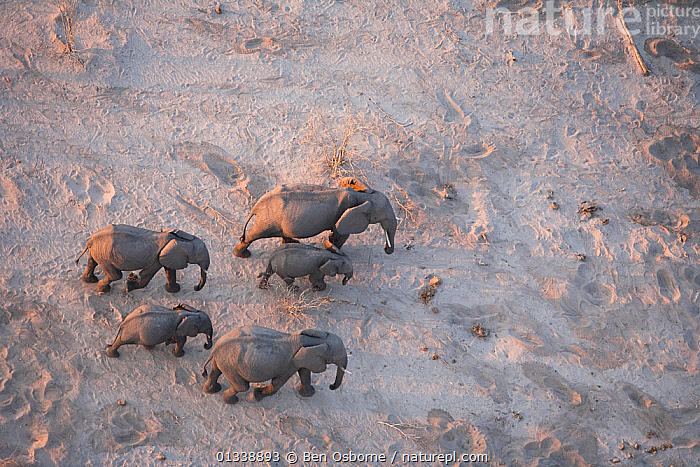 Aerial view of African elephant family (Loxodonta africana) traveling through parched landscape during drought conditions, Northern Botswana.  Taken on location for BBC Planet Earth series, October 2005  ,  AERIAL VIEW,AERIALS,BBC,BOTSWANA,COPYSPACE,DROUGHT,DRY SEASON,ELEPHANTS,ENDANGERED,FAMILIES,FIVE,GROUPS,HERDS,LINYANTI,MAMMALS,MIGRATING,MIGRATION,PROBOSCIDS,SOUTHERN AFRICA,VERTEBRATES  ,  Ben Osborne