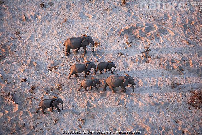 Aerial view of African elephant family (Loxodonta africana) traveling through parched landscape during drought conditions, Northern Botswana.  Taken on location for BBC Planet Earth series, October 2005  ,  AERIALS,BBC,BOTSWANA,DROUGHT,DRY SEASON,ELEPHANTS,ENDANGERED,FAMILIES,GROUPS,HERDS,LINYANTI,MAMMALS,MIGRATING,MIGRATION,PROBOSCIDS,SIX,SOUTHERN AFRICA,VERTEBRATES  ,  Ben Osborne