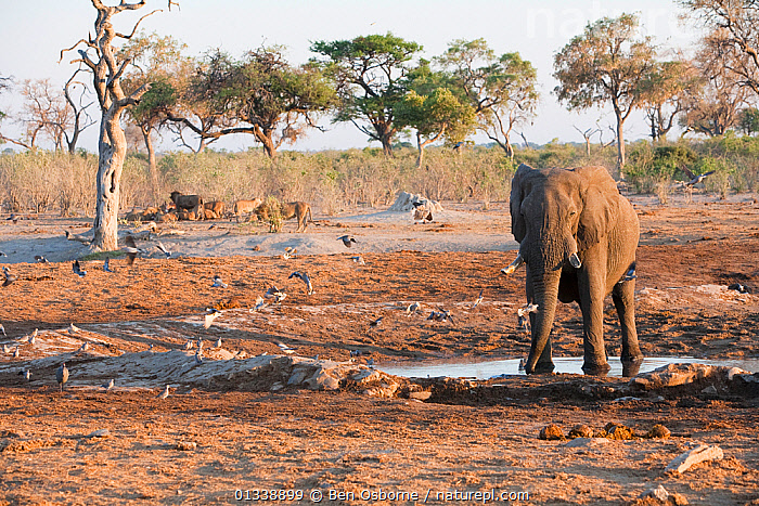 Solitary African elephant (Loxodonta africana) remains vigilant near African lions (Panthera leo) resting in background at a waterhole, Savuti, Northern Botswana.  The animals are forced to share waterhole in dry season.  Taken on location for BBC Planet Earth series, October 2005  ,  BBC,BIG CATS,BOTSWANA,CARNIVORES,CONFLICT,DRY SEASON,ELEPHANTS,ENDANGERED,FAMILIES,GROUPS,LANDSCAPES,LIONS,MAMMALS,MIXED SPECIES,PRIDE,PROBOSCIDS,SAVUTI,SOUTHERN AFRICA,VERTEBRATES,VULNERABLE,WATERHOLE  ,  Ben Osborne