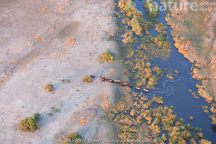 Aerial view of African elephants (Loxodonta africana) emerging from a river into a parched landscape during a drought, Northern Botswana.  Taken on location for BBC Planet Earth series, October 2005  ,  AERIAL VIEWS,AERIALS,BOTSWANA,DRY SEASON,ELEPHANTS,ENDANGERED,FAMILIES,GROUPS,HERDS,LANDSCAPES,LINE,LINYANTI,MAMMALS,MIGRATING,MIGRATION,PROBOSCIDS,RIVERS,SOUTHERN AFRICA,VERTEBRATES,WATER  ,  Ben Osborne