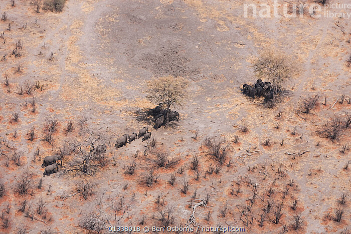 Aerial view of African elephants (Loxodonta africana) find shade under trees to avoid midday sun, during a drought. Northern Botswana.  Taken on location for BBC Planet Earth series, October 2005, aerial views,AERIALS,catalogue4,drought,dry season,ELEPHANTS,elevated view,FAMILIES,GROUPS,Herds,Linyanti,MAMMALS,migrating,MIGRATION,parched,Shade,southern africa,Tree,WILDLIFE,aerial view,arid landscape,Botswana,ENDANGERED,heat,LANDSCAPES,large group of animals,Nobody,PROBOSCIDS,SUN,Togetherness,VERTEBRATES, Ben Osborne