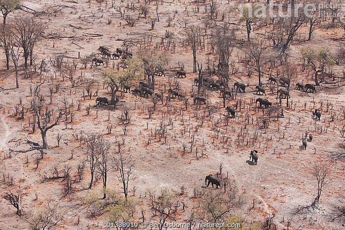 Aerial view of African elephants (Loxodonta africana) migrating through woodland in their search for food and water during a drought. Northern Botswana.  Taken on location for BBC Planet Earth series, October 2005  ,  AERIAL VIEWS,AERIALS,BOTSWANA,DROUGHT,DRY SEASON,ELEPHANTS,ENDANGERED,FAMILIES,GROUPS,HERDS,LANDSCAPES,LINYANTI,MAMMALS,MIGRATING,MIGRATION,PARCHED,PROBOSCIDS,SOUTHERN AFRICA,TREES,VERTEBRATES,PLANTS  ,  Ben Osborne