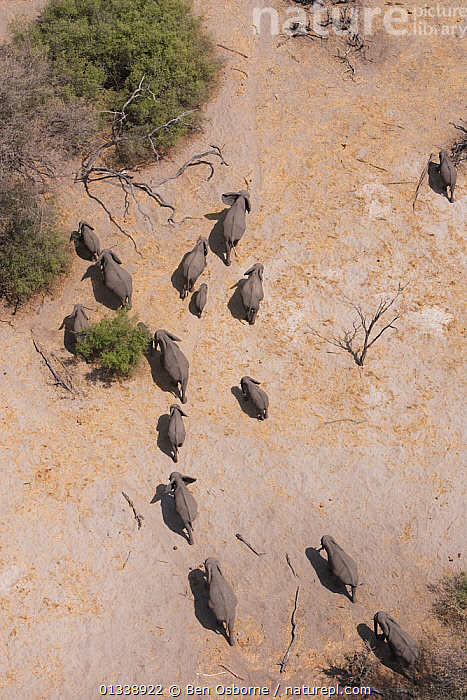 Aerial view of African elephants (Loxodonta africana) migrating through woodland in their search for food and water during a drought. Northern Botswana.  Taken on location for BBC Planet Earth series, October 2005  ,  AERIAL VIEWS,AERIALS,BOTSWANA,DRY SEASON,ELEPHANTS,ENDANGERED,FAMILIES,GROUPS,HERDS,LANDSCAPES,LINYANTI,MAMMALS,MIGRATING,MIGRATION,PARCHED,PROBOSCIDS,SOUTHERN AFRICA,TREES,VERTEBRATES,VERTICAL,PLANTS  ,  Ben Osborne