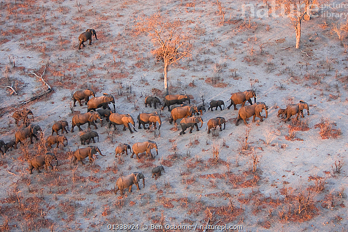 Aerial view of African elephants (Loxodonta africana) migrating across parched landscape in their search for food and water during a drought.   Linyanti, Northern Botswana.  Taken on location for BBC Planet Earth series, October 2005, AERIAL VIEWS,AERIALS,BOTSWANA,DROUGHT,DRY SEASON,ELEPHANTS,ENDANGERED,FAMILIES,GROUPS,HERDS,LANDSCAPES,LINYANTI,MAMMALS,MIGRATING,MIGRATION,PARCHED,PROBOSCIDS,SOUTHERN AFRICA,TREES,VERTEBRATES,PLANTS, Ben Osborne