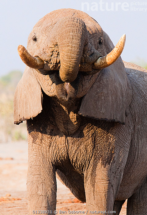 African elephant (Loxodonta africana) bull with trunk in mouth, after drinking, Savuti, Botswana.  Taken on location for BBC Planet Earth series, 2005  ,  BOTSWANA,ELEPHANTS,ENDANGERED,FACES,MALES,MAMMALS,PORTRAITS,PROBOSCIDS,SAVUTI,SOUTHERN AFRICA,TRUNKS,TUSKS,VERTEBRATES,VERTICAL  ,  Ben Osborne