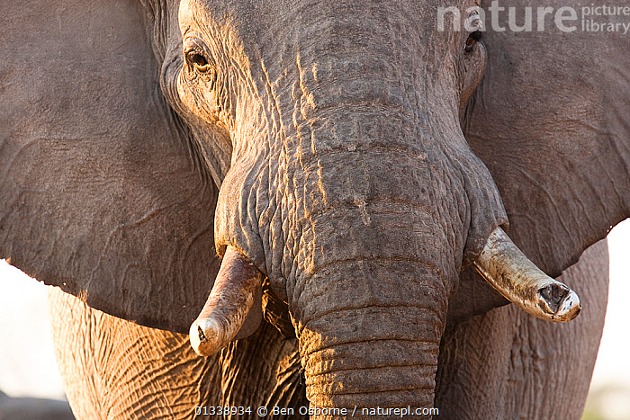 African elephant (Loxodonta africana) head portrait of bull, Botswana, taken on location for BBC Planet Eaeth series, 2005  ,  BOTSWANA,CLOSE UPS,ELEPHANTS,ENDANGERED,FACES,HEADS,MALES,MAMMALS,PORTRAITS,PROBOSCIDS,SAVUTI,SKIN,SOUTHERN AFRICA,TUSKS,VERTEBRATES  ,  Ben Osborne