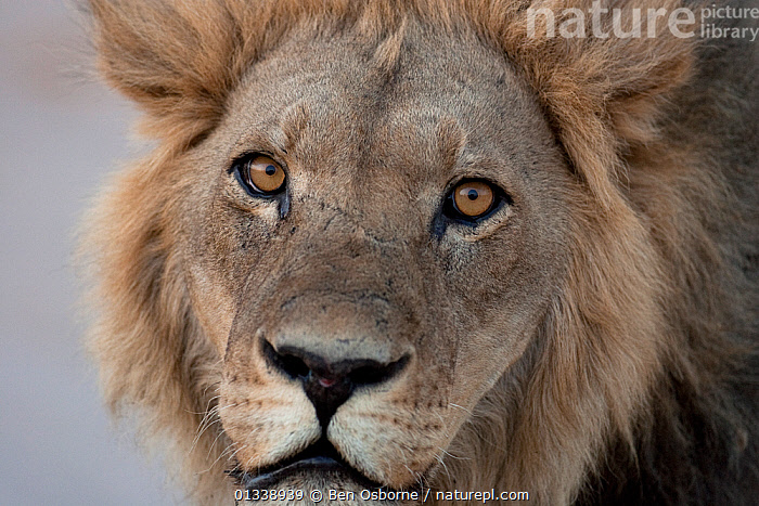 African lion (Panthera leo) male portrait, Savuti, Botswana.  Taken on location for BBC Planet Earth series, 2005  ,  BIG CATS,BOTSWANA,CARNIVORES,CLOSE UPS,EYES,FACES,FELIDAE,HEADS,LIONS,MALES,MAMMALS,PORTRAITS,SAVUTI,SOUTHERN AFRICA,VERTEBRATES  ,  Ben Osborne