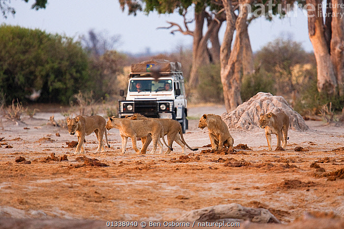 African lions (Panthera leo) cross a dirt track in front of a Landrover, Savuti, Northern Botswana.  Taken on location for BBC Planet Earth series, 2005  ,  BIG CATS,BOTSWANA,CARNIVORES,FELIDAE,FEMALES,GROUPS,LANDROVER,LIONESS,LIONS,MAMMALS,PEOPLE,SAVUTI,SOUTHERN AFRICA,VEHICLES,VERTEBRATES  ,  Ben Osborne