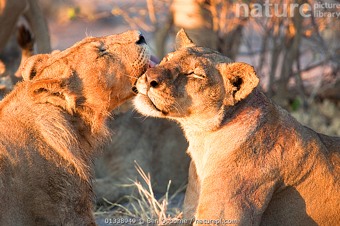 A young male African lion (Panthera leo) grooms a lioness, Savuti, Botswana.  Taken on location for BBC Planet Earth series 2005, BBC,BIG CATS,BOTSWANA,CARNIVORES,FAMILIES,FELIDAE,GROOMING,LIONS,MAMMALS,MUTUAL,SAVUTI,SOUTHERN AFRICA,VERTEBRATES, Ben Osborne