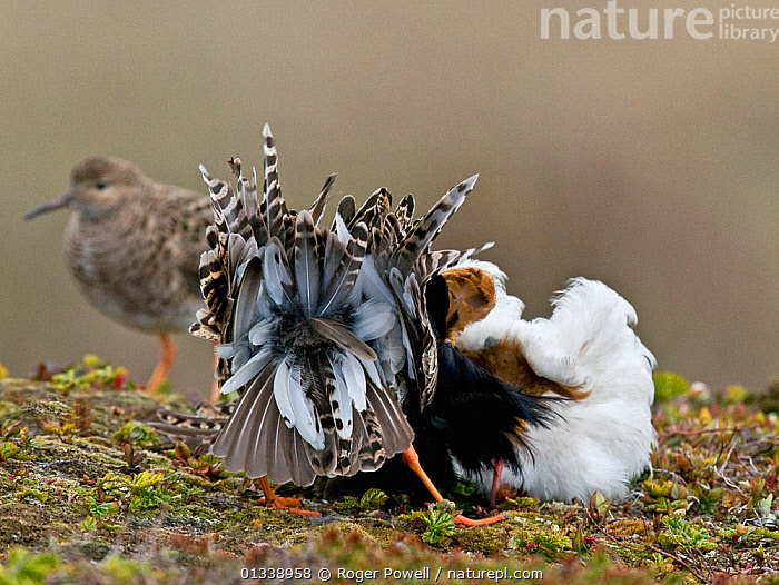 Two male Ruff (Philomachus pugnax) of different colour types competitively displaying to a female (a 'Reeve') in the background. Varanger, Norway, June.  ,  BIRDS,COURTSHIP,DISPLAY,EUROPE,LEK,WADERS,BEHAVIOUR,COMPETITION,MALES,NORWAY,SANDPIPERS,VERTEBRATES,Communication,Scandinavia  ,  Roger Powell