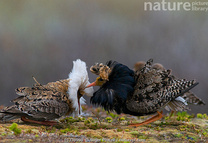 Two male Ruff (Philomachus pugnax) of different colour types competitively displaying at a lek. Varanger, Norway, June.  ,  BEHAVIOUR,COMPETITION,MALES,NORWAY,SANDPIPERS,VERTEBRATES,BIRDS,COURTSHIP,DISPLAY,EUROPE,LEK,WADERS,Communication,Scandinavia  ,  Roger Powell