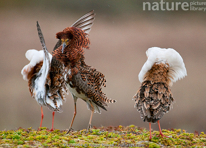 Three male Ruff (Philomachus pugnax) of different colour types competitively displaying at a lek. Varanger, Norway, June.  ,  BEHAVIOUR,COMPETITION,MALES,NORWAY,SANDPIPERS,VERTEBRATES,BIRDS,COURTSHIP,DISPLAY,EUROPE,LEK,THREE,WADERS,Communication,Scandinavia  ,  Roger Powell