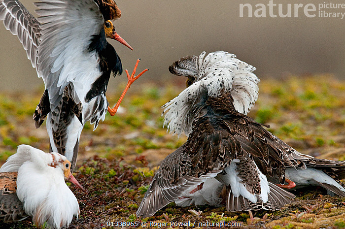 Three male Ruff (Philomachus pugnax) aggressively displaying at a lek. Varanger, Norway, June.  ,  BIRDS,COURTSHIP,DISPLAY,EUROPE,LEK,THREE,WADERS,ACTION,AGGRESSION,BEHAVIOUR,COMPETITION,FIGHTING,MALES,NORWAY,SANDPIPERS,VERTEBRATES,Communication,Scandinavia  ,  Roger Powell