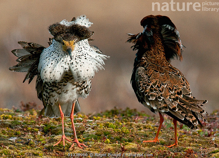 Two male Ruff (Philomachus pugnax) of different colour types competitively displaying at a lek in the background. Varanger, Norway, June.  ,  BEHAVIOUR,COMPETITION,MALES,NORWAY,SANDPIPERS,VERTEBRATES,BIRDS,COURTSHIP,DISPLAY,EUROPE,LEK,PORTRAITS,REAR VIEW,WADERS,Communication,Scandinavia  ,  Roger Powell