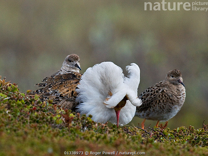 Displaying male Ruff (Philomachus pugnax) flanked by two admiring females ('Reeves'). Varanger, Norway, June.  ,  BEHAVIOUR,MALE FEMALE PAIRS,MALES,NORWAY,SANDPIPERS,VERTEBRATES,BIRDS,COURTSHIP,DISPLAY,EUROPE,GROUPS,LEK,SMALL GROUPS,THREE,WADERS,Communication,Scandinavia  ,  Roger Powell