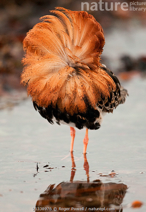 Ruff (Philomachus pugnax) male showing off his ruff in a courtship display behaviour. Varanger, Norway, June.  ,  BIRDS,catalogue4,COURTSHIP,DISPLAY,EUROPE,lek,one animal,plumage,PORTRAITS,VERTICAL,WADERS,WATER,WILDLIFE,BEHAVIOUR,close up,exhibitionist,FEATHERS,full length,male animal,MALES,Nobody,NORWAY,SANDPIPERS,showing off,STANDING,varanger,VERTEBRATES,Communication,Scandinavia  ,  Roger Powell