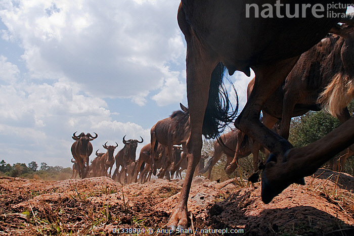 Eastern White-bearded Wildebeest (Connochaetes taurinus) herd running - wide angle perspective, Masai Mara National Reserve, Kenya. August 2009.  ,  ACTION,ARTIODACTYLA,BEHAVIOUR,BOVIDAE,CLOSE UPS,EAST AFRICA,GROUPS,LARGE GROUP,LEGS,LOW ANGLE SHOT,LOW ANGLE VIEW,LOW ANGLE SHOT,MAMMALS,MIGRATION,NP,REMOTE CAMERA,RESERVE,RUNNING,SAVANNA,VERTEBRATES,WILDEBEEST,National Park,Grassland  ,  Anup Shah
