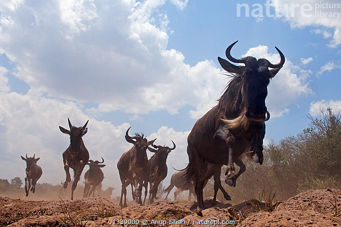 Eastern White-bearded Wildebeest (Connochaetes taurinus) herd running - wide angle perspective, Masai Mara National Reserve, Kenya. August 2009.  ,  ACTION,ARTIODACTYLA,BEHAVIOUR,BOVIDAE,CLOSE UPS,EAST AFRICA,GROUPS,JUMPING,LOW ANGLE SHOT,LOW ANGLE VIEW,LOW ANGLE SHOT,MAMMALS,MEDIUM GROUP,MIGRATION,NP,REMOTE CAMERA,RESERVE,RUNNING,SAVANNA,VERTEBRATES,WILDEBEEST,National Park,Grassland  ,  Anup Shah