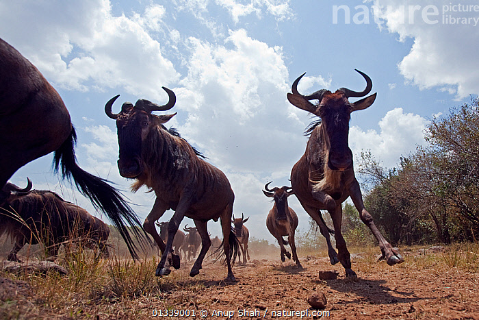 Eastern White-bearded Wildebeest (Connochaetes taurinus) herd running - wide angle perspective, Masai Mara National Reserve, Kenya. August 2009.  ,  ACTION,ARTIODACTYLA,BEHAVIOUR,BOVIDAE,CLOSE UPS,EAST AFRICA,GROUPS,LEGS,LOW ANGLE SHOT,LOW ANGLE VIEW,LOW ANGLE SHOT,MAMMALS,MEDIUM GROUP,MIGRATION,NP,REMOTE CAMERA,RESERVE,RUNNING,SAVANNA,VERTEBRATES,WILDEBEEST,National Park,Grassland  ,  Anup Shah