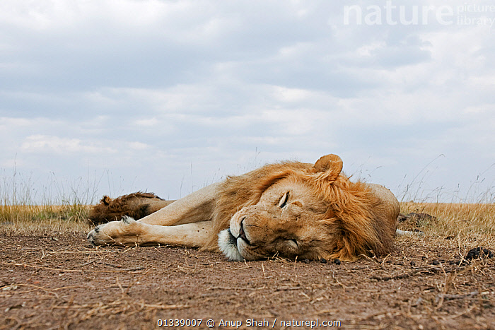 African lion (Panthera leo) males asleep - wide angle perspective, Masai Mara National Reserve, Kenya. August  ,  BEHAVIOUR,BIG CATS,CARNIVORES,CLOSE UPS,EAST AFRICA,FELIDAE,LIONS,LOW ANGLE SHOT,LOW ANGLE VIEW,MAMMALS,NP,REMOTE CAMERA,RESERVE,RESTING,SAVANNA,SLEEPING,VERTEBRATES,National Park,Grassland  ,  Anup Shah