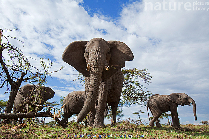 African elephant (Loxodonta africana) herd feeding on trees - wide angle perspective, Masai Mara National Reserve, Kenya. August  ,  CLOSE UPS,DAMAGE,EAST AFRICA,ELEPHANTIDAE,ELEPHANTS,ENDANGERED,FEEDING,FOUR,GROUPS,LOW ANGLE SHOT,LOW ANGLE VIEW,MAMMALS,NP,PROBOSCIDS,REMOTE CAMERA,RESERVE,SAVANNA,SMALL GROUP,TREES,VERTEBRATES,National Park,Grassland,PLANTS  ,  Anup Shah
