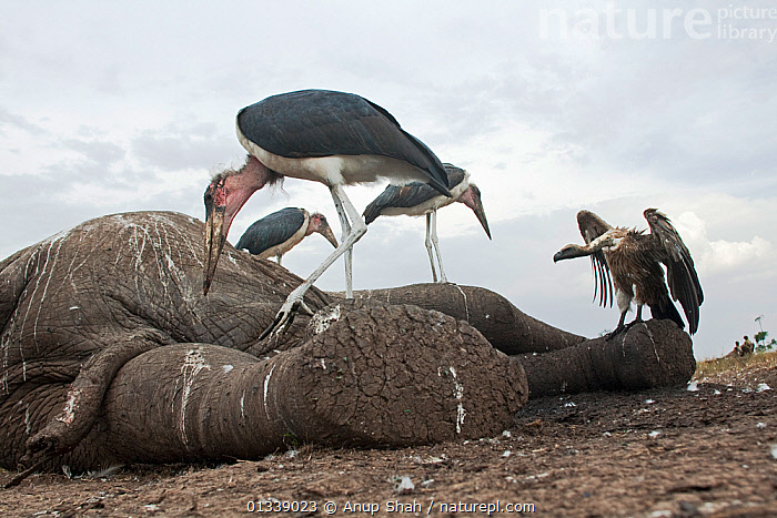 Marabou storks (Leptoptilos crumeniferus) and White-backed vulture (Gyps africanus) feeding on the carcass of an elephant - wide angle perspective. Masai Mara National Reserve, Kenya. September  ,  BEHAVIOUR,BIRDS,CLOSE UPS,DEATH,EAST AFRICA,ELEPHANTS,FEEDING,FLOCKS,LOW ANGLE SHOT,LOW ANGLE VIEW,MIXED SPECIES,NP,REMOTE CAMERA,RESERVE,SAVANNA,SCANVENGING,STORKS,VERTEBRATES,VULTURES,National Park,Grassland  ,  Anup Shah