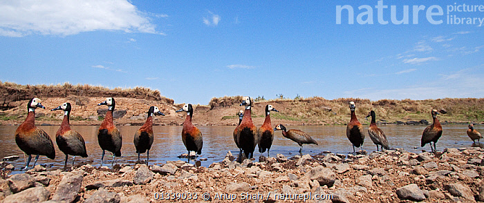 White-faced Whistling-Ducks (Dendrocygna viduata) wading at the edge of the river - wide angle perspective, Masai Mara National Reserve, Kenya. September  ,  BIRDS,EAST AFRICA,FLOCKS,GROUPS,LOW ANGLE SHOT,LOW ANGLE VIEW,MEDIUM GROUP,NP,PANORAMIC,REMOTE CAMERA,RESERVE,RIVERS,SAVANNA,VERTEBRATES,WATER,WATERFOWL,WHISTLING DUCKS,National Park,Grassland  ,  Anup Shah