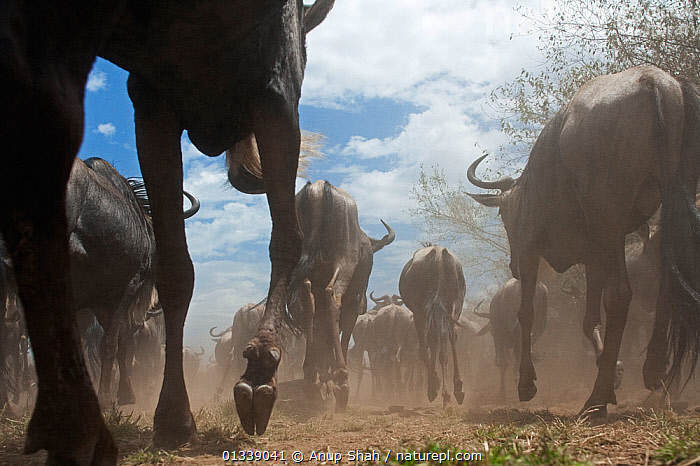 Eastern White-bearded Wildebeest (Connochaetes taurinus) herd running, rear view, wide angle perspective, Masai Mara National Reserve, Kenya. September  ,  ARTIODACTYLA,Bovidae,CLOSE UPS,EAST AFRICA,GROUPS,low angle shot,low angle view,LOW ANGLE SHOT,MAMMALS,MIGRATION,outdoors,panoramic image,rear view,RUNNING,wide angle view,WILDLIFE,ACTION,AFRICA,BEHAVIOUR,catalogue3,close up,dust,HOOVES,Kenya,large group,large group of animals,Masai Mara,National Reserve,Nobody,NP,on the move,Remote Camera,RESERVE,SAVANNA,VERTEBRATES,WALKING,Wildebeest,National Park,Grassland  ,  Anup Shah