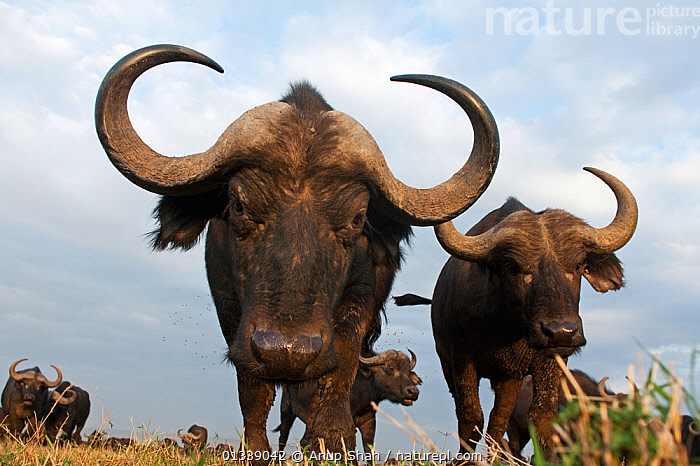 Cape / African Buffalo (Syncerus caffer) approaching camera with curiosity, wide angle perspective, Masai Mara National Reserve, Kenya. September  ,  BUFFALOS,catalogue3,close up,curiosity,Curious,HORNS,hostile,hroned,Kenya,large group,large group of animals,Masai Mara,National Reserve,Nobody,NP,Remote Camera,RESERVE,SAVANNA,staring,VERTEBRATES,ARTIODACTYLA,BOVIDS,CLOSE UPS,curved,EAST AFRICA,GROUPS,looking at camera,low angle shot,low angle view,LOW ANGLE SHOT,MAMMALS,menacing,outdoors,PORTRAITS,risks,two,two animals,wide angle view,WILDLIFE,National Park,Grassland,Cattle,,Personal Point of View,  ,  Anup Shah
