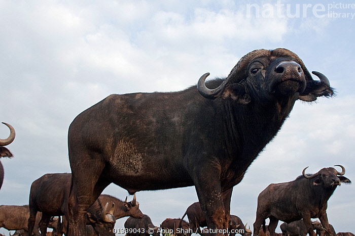 Cape / African Buffalo (Syncerus caffer) sniffing the air, wide angle perspective, Masai Mara National Reserve, Kenya. September  ,  ARTIODACTYLA,BOVIDS,BUFFALOS,CLOSE UPS,EAST AFRICA,LOW ANGLE SHOT,LOW ANGLE VIEW,LOW ANGLE SHOT,MAMMALS,NP,PROFILE,REMOTE CAMERA,RESERVE,SAVANNA,SNIFFING,VERTEBRATES,National Park,Grassland,Cattle  ,  Anup Shah