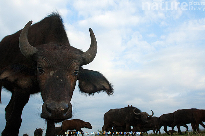 Cape / African Buffalo (Syncerus caffer) approaching with curiosity, herd in the background, wide angle perspective, Masai Mara National Reserve, Kenya. September, animal head,ARTIODACTYLA,BLACK,BOVIDS,CLOSE UPS,EARS,EAST AFRICA,facial expression,GROUPS,Horned,looking at camera,low angle shot,low angle view,LOW ANGLE SHOT,MAMMALS,outdoors,SKY,wide angle view,WILDLIFE,AFRICA,animal ear,BEHAVIOUR,BUFFALOS,catalogue3,close up,cloudy,curiosity,Curious,HEADS,herd,Kenya,large group,large group of animals,Masai Mara,National Reserve,Nobody,Nosy,NP,Remote Camera,RESERVE,SAVANNA,sniffing,VERTEBRATES,National Park,Grassland,Cattle,,Personal Point of View,,,Selfie,, Anup Shah