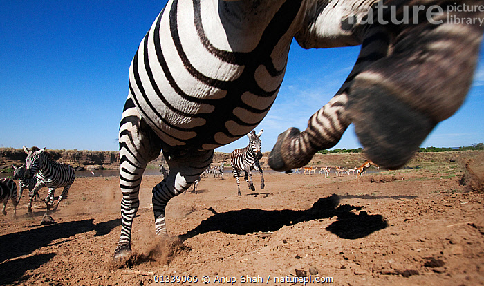 Common / Plains Zebra (Equus quagga burchellii) adult leaping as herd runs away from the Mara River - wide angle perspective, Masai Mara National Reserve, Kenya. September, ACTION,BEHAVIOUR,BELLY,CLOSE UPS,EAST AFRICA,EQUIDAE,EQUUS QUAGGA,JUMPING,LEAPING,LOW ANGLE VIEW,serengeti spy,bookplate,LOW ANGLE SHOT,MAMMALS,MIGRATION,NP,PERISSODACTYLA,REMOTE CAMERA,RESERVE,SAVANNA,STRIPED,STRIPES,VERTEBRATES,ZEBRAS,National Park,Grassland,Equines, Anup Shah