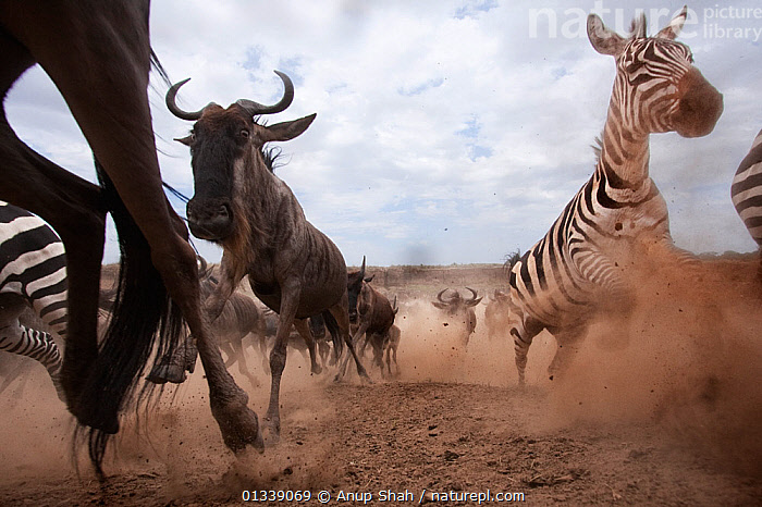 Eastern White-bearded Wildebeest herd (Connochaetes taurinus) and Common / Plains zebra (Equus quagga burchellii) running away from the Mara River after crossing - wide angle perspective. Masai Mara National Reserve, Kenya. September, ARTIODACTYLA,Bovidae,CLOSE UPS,EAST AFRICA,Equidae,Equus quagga burchellii,GROUPS,low angle view,LOW ANGLE SHOT,MAMMALS,Mara River,MIGRATION,outdoors,plains zebra,RUNNING,SPEED,wide angle view,WILDLIFE,ACTION,AFRICA,BEHAVIOUR,catalogue3,close up,COMMON ZEBRA ,dust,Kenya,large group,large group of animals,Masai Mara,MIXED SPECIES,National Reserve,Nobody,NP,on the move,Remote Camera,RESERVE,SAVANNA,urgency,VERTEBRATES,Wildebeest,National Park,Grassland, Anup Shah