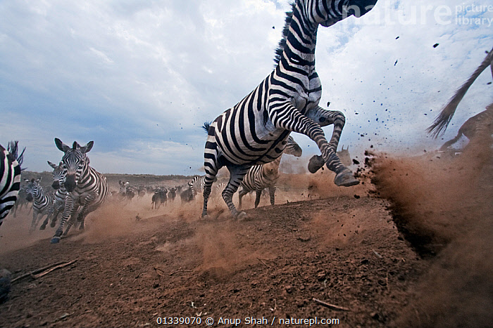 Common / Plains zebra (Equus quagga burchellii) and Eastern White-bearded Wildebeest herd (Connochaetes taurinus) running away from the Mara River after crossing - wide angle perspective. Masai Mara National Reserve, Kenya. September  ,  ACTION,ARTIODACTYLA,BEHAVIOUR,BOVIDAE,CLOSE UPS,DUST,EAST AFRICA,EQUIDAE,EQUUS QUAGGA,LOW ANGLE VIEW,LOW ANGLE SHOT,MAMMALS,MIGRATION,MIXED SPECIES,NP,PERISSODACTYLA,REMOTE CAMERA,RESERVE,RUNNING,SAVANNA,VERTEBRATES,WILDEBEEST,ZEBRAS,National Park,Grassland,Equines  ,  Anup Shah
