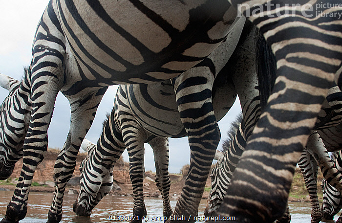 Common / Plains Zebra (Equus quagga burchellii) herd drinking from the Mara River - wide angle underbelly perspective, Masai Mara National Reserve, Kenya. September, BEHAVIOUR,BELLY,CLOSE UPS,DRINKING,EAST AFRICA,EQUIDAE,EQUUS QUAGGA,LOW ANGLE SHOT,LOW ANGLE VIEW,LOW ANGLE SHOT,MAMMALS,MIGRATION,NP,PERISSODACTYLA,REMOTE CAMERA,RESERVE,RIVERS,SAVANNA,STRIPED,STRIPES,VERTEBRATES,WATER,ZEBRAS,National Park,Grassland,Equines, Anup Shah